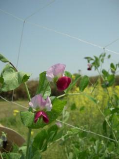 きぬさやの花.jpg