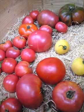 ごろごろイタリアトマト.jpg