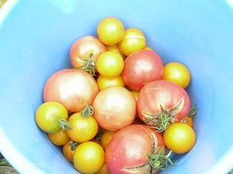 トマトの収穫.JPG