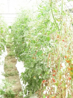 トマトの整列.jpg