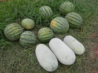 本日の収穫.JPG