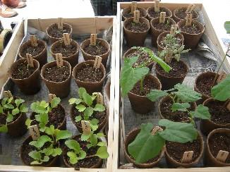 野菜の苗で町の緑化を.jpg