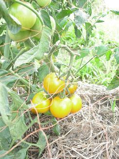 黄色のトマト.JPG